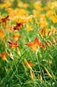 THE NURSERY FARTHER AFIELD  NORTHAMPTONSHIRE: HEMEROCALLIS STAFFORD AND MISSENDEN