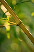PW PLANTS  NORFOLK: HARDY BAMBOO - PHYLLOSTACHYS BAMBUSOIDES ALLGOLD