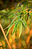 PW PLANTS  NORFOLK: HARDY BAMBOO - LEAVES OF PHYLLOSTACHYS BAMBUSOIDES ALLGOLD