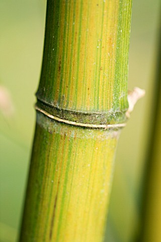 PW_PLANTS__NORFOLK_HARDY_BAMBOO__PHYLLOSTACHYS_VIOLESCENS