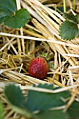 DESIGNER: CLARE MATTHEWS- POTAGER/ VEGETABLE GARDEN  DEVON: STRAWBERRY FLORENCE IN STRAW