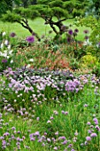 HUNMANBY GRANGE  YORKSHIRE: HERBACEOUS BORDER WITH JUNIPERUS VIRGINIANA GREY OWL PRUNED INTO CLOUD SHAPE  PURPLE SAGE  FLOWERING CHIVES AND CISTUS (ROCK ROSE)