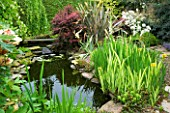 HUNMANBY GRANGE  YORKSHIRE: POND PLANTING WITH IRIS PSEUDOACORUS VARIEGATA  WATER FORGET-ME-NOTS  BERBERIS AND PAEONIA