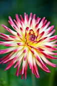 YEWBARROW HOUSE GARDENS  CUMBRIA - CLOSE UP OF PINK AND WHITE DAHLIA HAYLEY JAYNE
