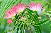 YEWBARROW HOUSE GARDENS  CUMBRIA. PINK FLOWERS OF ALBIZIA JULIBRISSIN (MIMOSA  PERSIAN SILK TREE)