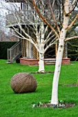 WOODPECKERS  WARWICKSHIRE  WINTER: LAWN WITH BETULA HERGEST  BETULA UTILIS VAR JACQUEMONTII AND WOVEN WILLOW SCULPTURE