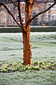 WOODPECKERS  WARWICKSHIRE  WINTER: FROSTY LAWN WITH ACER GRISEUM AND GALANTHUS SANDERSII GP