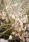 WOODPECKERS  WARWICKSHIRE  WINTER: FROSTED SEEDHEADS OF LUNNARIA ANNUA (HONESTY)