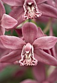 MINIATURE CYMBIDIUM STRATHDOWN CHAILY RED. ORCHID  PASTEL  FADED  RED