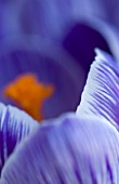 CLOSE UP ABSTARCT OF CROCUS PICKWICK. BULB  CLOSE UP  PURPLE  SRIPEY  STRIPED  SPRING  FLOWER