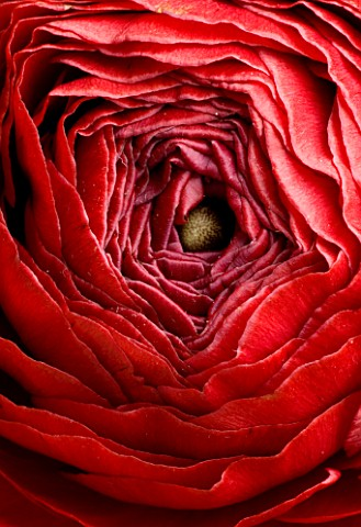CLOSE_UP_OF_DARK_RED_PERSIAN_RANUNCULUS__RANUNCULUS_ASIATICUS_BACKGROUND__ABSTRACT__RICH