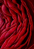 CLOSE UP OF DARK RED PERSIAN RANUNCULUS ( RANUNCULUS ASIATICUS) BACKGROUND  ABSTRACT  RICH