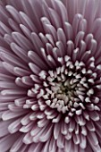 PINK CHRYSANTHEMUM. CLOSE UP  FLOWER  GRAPHIC  BACKGROUND