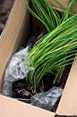 DESIGNER CLARE MATTHEWS. POTAGER PROJECT: PANCHO LEEKS IN THEIR BOX