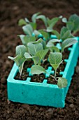 DESIGNER CLARE MATTHEWS. BABY SAVOY CABBAGE TUNDRA IN A PLUG TRAY