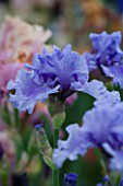 TALL BEARDED IRIS SHARE THE SPIRIT GROWN BY CLAIRE AUSTIN