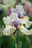 TALL BEARDED IRIS OPPOSING FORCES GROWN BY CLAIRE AUSTIN