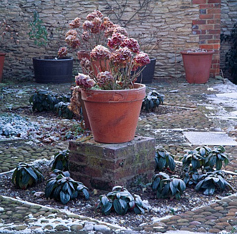 FROST_COVERED_HYDRANGEAS_IN_CONTAINERS__IN_THE_RAISED_POT_GARDEN_DAVID_HICKS_GARDEN__OXFORDSHIRE