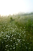 MARINERS GARDEN  BERKSHIRE  DESIGNER FENJA ANDERSON - A GRASS PATH RUNS THROUGH THE WILD FLOWER MEADOW AT DAWN WITH OXEYE DAISIES