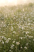 MARINERS GARDEN  BERKSHIRE  DESIGNER FENJA ANDERSON - THE WILD FLOWER MEADOW AT DAWN WITH OXEYE DAISIES
