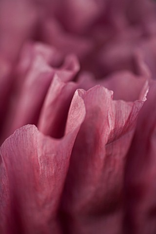 THE_OLD_RECTORY__HASELBECH__NORTHAMPTONSHIRE_ABSTRACT_CLOSE_UP_OF_THE_FLOWER_OF_PAPAVER_ORIENTALE_PA