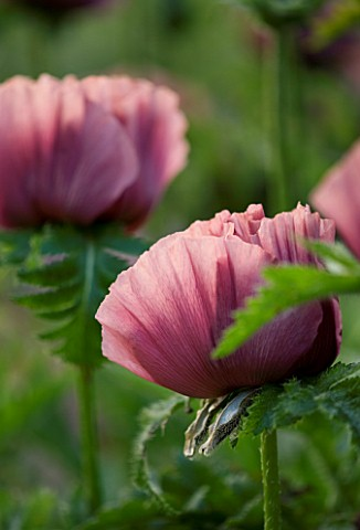 THE_OLD_RECTORY__HASELBECH__NORTHAMPTONSHIRE_CLOSE_UP_OF_THE_FLOWER_OF_PAPAVER_ORIENTALE_PATTYS_PLUM