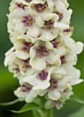 CLOSE UP OF FLOWERS OF VERBASCUM CHAIXII ALBUM. WHITE