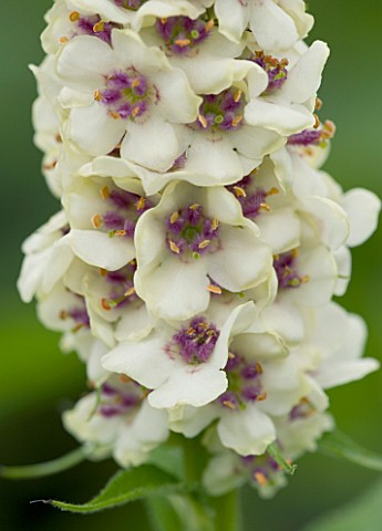 CLOSE_UP_OF_FLOWERS_OF_VERBASCUM_CHAIXII_ALBUM_WHITE
