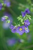 CLOSE UP OF FLOWERS OF POLEMONIUM LAMBROOK MAUVE