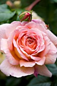 AMELIA HEATH GARDEN  1  CROSS VILLAS  SHROPSHIRE: PINK ROSE - ROSA  ABRAHAM DERBY