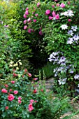 AMELIA HEATH GARDEN  1  CROSS VILLAS  SHROPSHIRE: PATH BESIDE THE BACK OF THE HOUSE WITH CLEMATIS NELLY MOSER  ROSE ZEPHERIN DROUHIN  ROSE BERKSHIRE