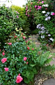 AMELIA HEATH GARDEN  1  CROSS VILLAS  SHROPSHIRE: SIDE ALLEY WITH GRAVEL PATH SURROUNDED BY CLEMATIS NELLY MOSER  ROSE ZEPHERIN DROUHIN  ROSE BERKSHIRE