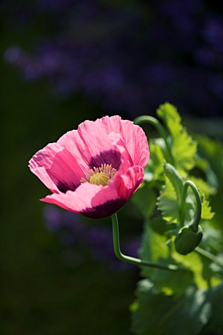 MARINERS_GARDEN__BERKSHIRE__DESIGNER_FENJA_ANDERSON__CLOSE_UP_OF_FLOWER_OF_PAPAVER_SOMNIFERUM