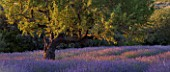 DESIGNER ALAIN DAVID IDOUX - MAS BENOIT  PROVENCE  FRANCE. LAVENDER AND ALMOND TREE IN EARLY MORNING LIGHT