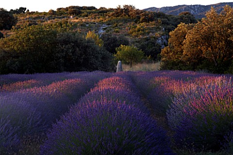DESIGNER_ALAIN_DAVID_IDOUX__MAS_BENOIT__PROVENCE__FRANCE_LAVENDER_TRIANGLE_IN_EARLY_MORNING_LIGHT