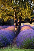 DESIGNER ALAIN DAVID IDOUX - MAS BENOIT  PROVENCE  FRANCE. LAVENDER TRIANGLE AND ALMOND TREE IN EARLY MORNING LIGHT