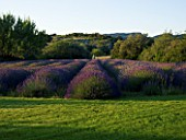 DESIGNER ALAIN DAVID IDOUX - MAS BENOIT  PROVENCE  FRANCE. LAVENDER TRIANGLE IN EARLY MORNING LIGHT