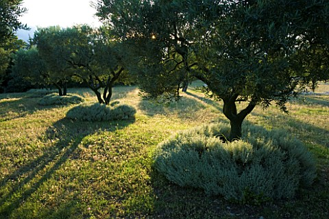 DESIGNER_ALAIN_DAVID_IDOUX__MAS_BENOIT__PROVENCE__FRANCE_OLIVE_TREES_IN_THE_MEADOW_EVENING_LIGHT