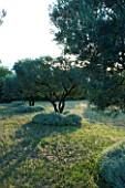 DESIGNER ALAIN DAVID IDOUX - MAS BENOIT  PROVENCE  FRANCE. OLIVE TREES IN THE MEADOW. EVENING LIGHT