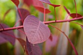 DARREN CLEMENTS GARDEN  STAFFORDSHIRE: CLOSE UP OF DARK RED LEAVES OF COTINUS GRACE
