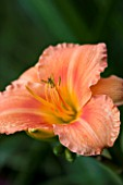 DARREN CLEMENTS GARDEN  STAFFORDSHIRE: CLOSE UP OF FLOWERS OF HEMEROCALLIS INDIAN PAINTBRUSH
