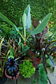 DARREN CLEMENTS GARDEN  STAFFORDSHIRE: BORDER BESIDE THE HOUSE WITH MUSA LASIOCARPA  PHOENIX CANARIENSIS  CANNA TROPICANA  EUCOMIS BURGUNDY SPARKLE