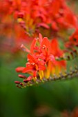 DARREN CLEMENTS GARDEN  STAFFORDSHIRE: CLOSE UP OF RED FLOWERS OF CROCOSMIA LUCIFER