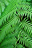 DARREN CLEMENTS GARDEN  STAFFORDSHIRE: GREEN LEAVES OF DICKSONIA ANTARCTICA