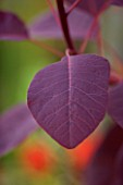 DARREN CLEMENTS GARDEN  STAFFORDSHIRE: CLOSE UP OF LEAVES OF COTINUS GRACE