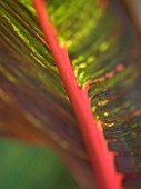 DARREN CLEMENTS GARDEN  STAFFORDSHIRE: CLOSE UP OF LEAVES OF CANNA TROPICANA