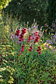 PETTIFERS GARDEN  OXFORDSHIRE. GLADIOLUS PAPILIO RUBY IN A BORDER WITH SANGUISORBA AND ACHILLEA. FLOWER  RED  BULB