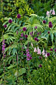 WILKINS PLECK  STAFFORDSHIRE: HERBACEOUS BORDER WITH BOX   ALLIUM SPHAEROCEPHALON  DIERAMA PULCHERRIMUM  LYTHRUM ROSY GEMS AND MELIANTHUS MAJOR
