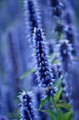 ORCHARD DENE NURSERY  OXFORDSHIRE: AGASTACHE BLUE FORTUNE. CLOSE UP. FLOWERS  BLUE