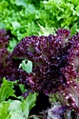 DESIGNER CLARE MATTHEWS: VEGETABLE/ POTAGER GARDEN PROJECT  DEVON: LETTUCE SENTRY AND RED LETTUCE LLOLO ROSSO